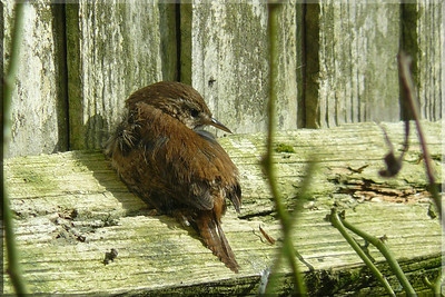 Wren (Troglodytes troglodytes). A delightful afternoon on 16 March 2010 found this glorious little Wren sunbathing just outside my patio doors on the fencing. The closest and longest time I've had to photograph this tiny and elusive species. (1 of 4)