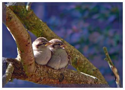 House Sparrow (Passer domesticus) [fledglings], Hemel Hempstead garden, Hertfordshire, 21/06/2011