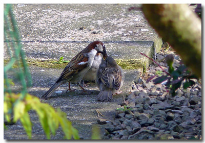 House Sparrow (Passer domesticus). An attentive father feeding his young, Hemel Hempstead garden, Hertfordshire, 05/05/2011