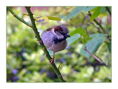 House Sparrow (Passer domesticus) [male], Hemel Hempstead garden, Hertfordshire, 12/05/2011