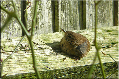 Wren (Troglodytes troglodytes). A delightful afternoon on 16 March 2010 found this glorious little Wren sunbathing just outside my patio doors on the fencing. The closest and longest time I've had to photograph this tiny and elusive species. (4 of 4)