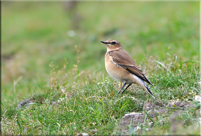 (Northern) Wheatear (Oenanthe oenanthe) [juvenile], Ivinghoe Beacon, Buckinghamshire, 05/10/2011. I thoroughly enjoyed a sunny hour or more with this very confiding youngster.