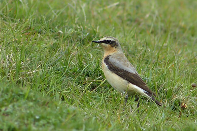 (Northern) Wheatear (Greenland race) (Oenanthe oenanthe leucorhoa) [male], Ivinghoe Beacon, Buckinghamshire, 01/05/2012 (4 of 7)