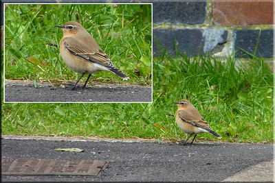 (Northern) Wheatear (Oenanthe oenanthe), Hemel Hempstead, Hertfordshire, 07/10/2012. My first Hemel Wheatear. The context rather than the bird is significant here. I'd popped out at about 11:20am to walk across to my local shops to get a loaf of bread. As I walked back to my house, a white rumped bird flew in and landed in front of my car. My immediate thought was Wheatear....and sure enough, in the middle of a housing estate in Hemel Hempstead, a lovely little Wheatear had dropped in. I dashed into the house, chucking the bread on the floor, and grabbed my camera. Thankfully, the bird was still in the parking area on the estate and I managed a few shots. The irony is that I'd bumped into a birding friend yesterday and we'd commented that we hadn't even had a local Wheatear through....! Crazy eh! You never know what might turn up outside your front door....