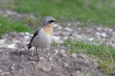 (Northern) Wheatear (Oenanthe oenanthe) [male], Ivinghoe Beacon, Buckinghamshire, 20/03/2012.