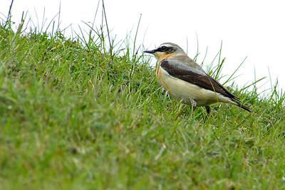 (Northern) Wheatear (Greenland race) (Oenanthe oenanthe leucorhoa) [male], Ivinghoe Beacon, Buckinghamshire, 01/05/2012 (5 of 7)