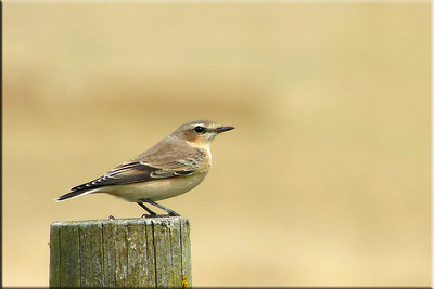 (Northern) Wheatear (Oenanthe oenanthe), Ivinghoe Hills, Buckinghamshire, 11/08/2012. Autumn migration well and truly underway. A passage migrant frequenting the fence posts between Pitstone Hill and Incombe Hole.