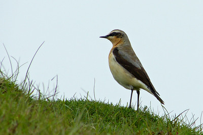 (Northern) Wheatear (Greenland race) (Oenanthe oenanthe leucorhoa) [male], Ivinghoe Beacon, Buckinghamshire, 01/05/2012 (6 of 7).