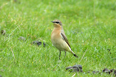 (Northern) Wheatear (Greenland race) (Oenanthe oenanthe leucorhoa) [1st summer male], Ivinghoe Beacon, Buckinghamshire, 01/05/2012 (2 of 7).