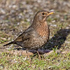Common Blackbird - Solsort