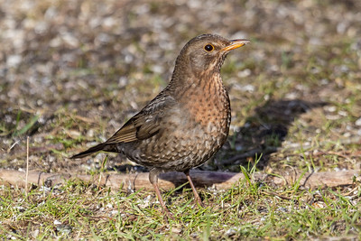 Common Blackbird ~ Solsort