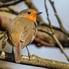Robin - Rødhals