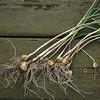 Allium vineale | Kraailook - Wild garlic
