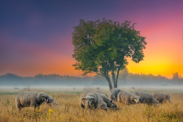 Sheep   Schapen