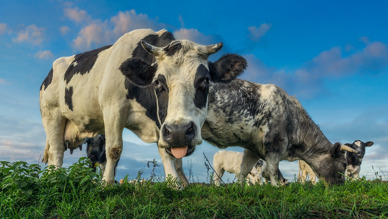Cows   Koeien