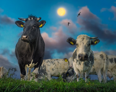 Cows | Koeien