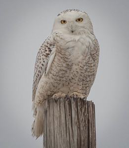 One of my favorite owls from the winter season of 2021, Thumper was always a willing model.
