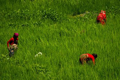 שדה אורז