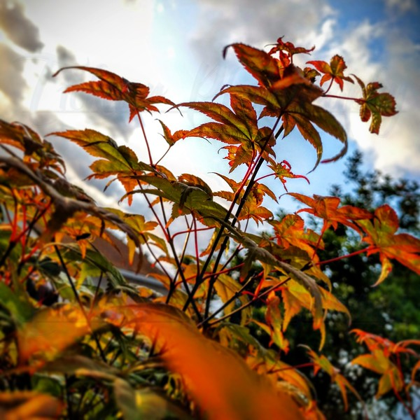 Leaves on my Japanese maple, a shindeshojo
