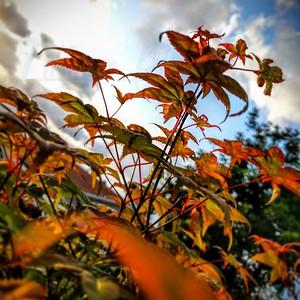 Leaves on my Japanese maple, a shindeshojo