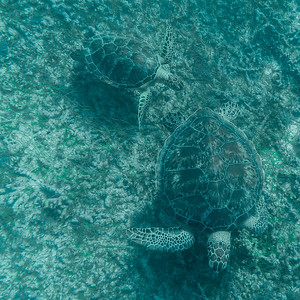 Wild Sea Turtles