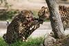 Cheetah's Eating a Duck