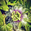 Our first passion fruit flower of the season!