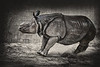 Greater one-horned Asian Rhino charging