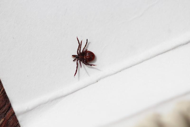 Hard Tick (Ixodidae)
