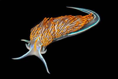 Thick-horned Nudibranch (Hermissenda crassicornis)