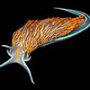 Thick-horned Nudibranch (Hermissenda crassicornis)