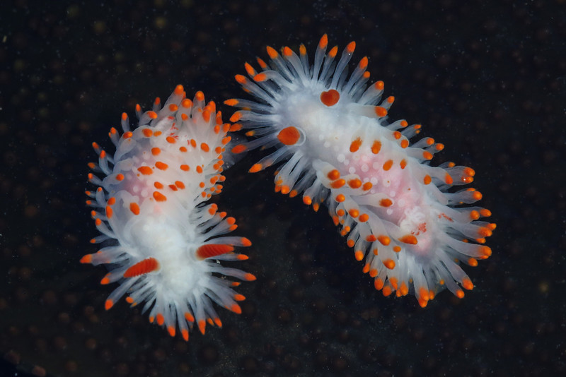 Cockerell's Dorid (Limacia cockerelli)