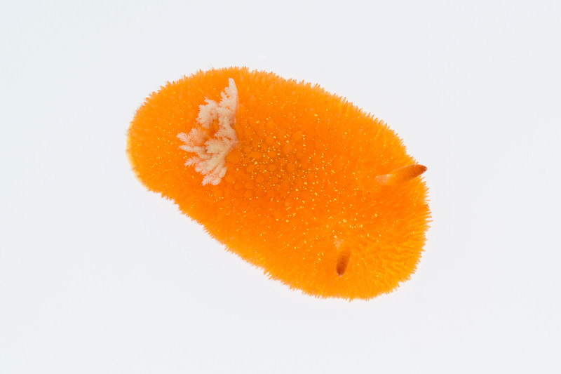 Orange-Peel dorid (Acanthodoris lutea)