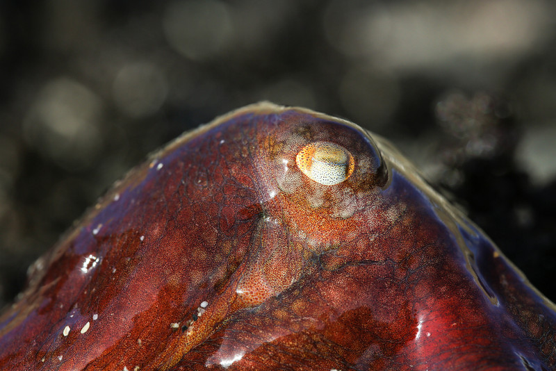 East Pacific Red Octopus (Octopus rubescens)