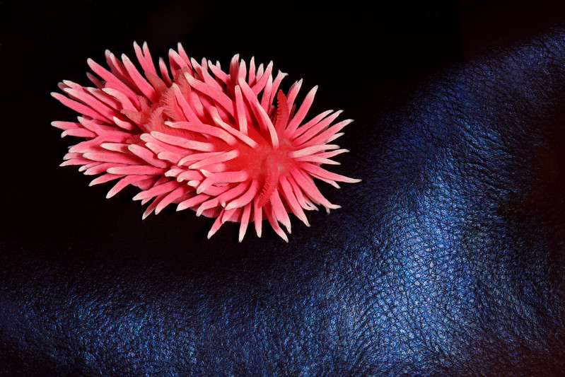Hopkins' Rose Nudibranch (Okenia rosacea)