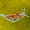 Opalescent Sea Slug (Hermissenda opalescens)