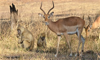 Impala und Paviane, Kafunta 2012