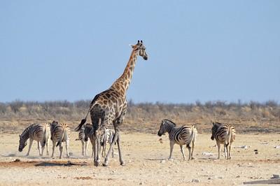 Giraffe mit Zebras, Etosha 2012