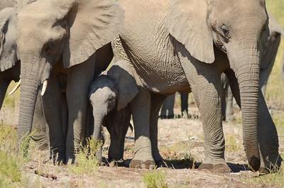Namibia 2012, Elephanten, Kaokofeld