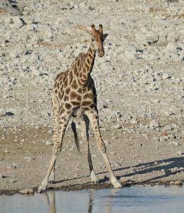 Giraffe, Etosha 2012