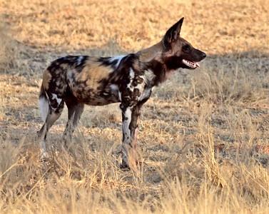 Wild Dog, Kafunta 2012