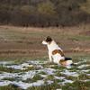 Jack Russell Terrier Clifford DSC09901