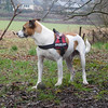 Jack Russell Terrier Rico DSCN0140