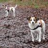 Jack Russell Terrier Rico und Clifford DSCN0156