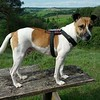 Jack Russell Terrier Rico