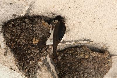 Mehlschwalbe