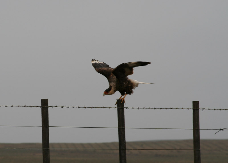 Southern caracara on fence line along Strait of Magellan.