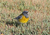 Male gray-hooded sierra-finch, feeding on grass seeds near our campsite at Bahia Lomas.