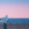 Snow Owl at Sunrise<br /> Ontario, Canada<br /> <br /> ray@raymondbarlow.com<br /> Nikon D850 ,Nikkor 200-400mm f/4G ED-IF AF-S VR<br /> 1/1000s f/4.0 at 400.0mm iso1600