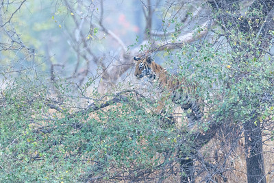 A young bengal Tiger climbs a tree in Kanha Natioan Park.